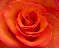 明亮一个红色玫瑰特写镜头 免版税库存图片
