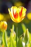 明亮和五颜六色郁金香关闭 免版税库存图片