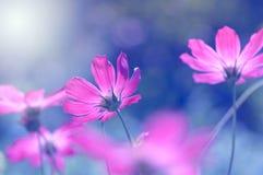 明亮和精美花波斯菊 与设色,花卉背景的紫色花 库存照片