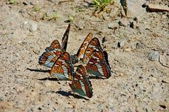 明亮和美好的舞蹈 poplary Lentochnik的蝴蝶  图库摄影