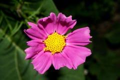明亮地与短的宽瓣的紫罗兰色花 在与绿色叶子的黑暗的背景 宏指令 图库摄影