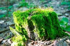 明亮地在一个老木树桩的绿色水多的青苔 免版税库存照片