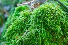 明亮地在一个老木树桩的绿色水多的青苔 库存图片