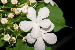 明亮地开花与在黑暗的背景的五个白色瓣与绿色叶子 宏指令 免版税库存图片