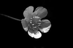 明亮地开花与在黑暗的背景的五个白色瓣 宏指令 图库摄影