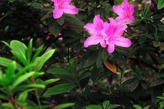 明亮地杜娟花桃红色花反对黑暗的背景的 在灌木热带植物的美丽的大花 图库摄影