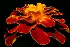 明亮地红色黄色万寿菊花,在黑背景 宏指令 库存照片