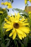 明亮地色的大丽花黄色 图库摄影