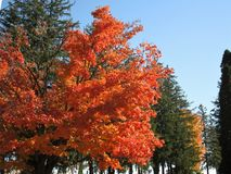 明亮地色的树在安大略的秋天 图库摄影