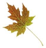 明亮地色的秋天叶子特写镜头隔绝了五颜六色在白色背景 免版税图库摄影