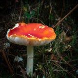 明亮地色的蛤蟆菌蘑菇 库存照片
