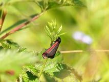 明亮地色的辰砂飞蛾Tyria jacobaeae 库存图片