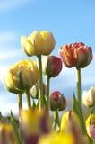 明亮地色的郁金香和蓝天 免版税库存照片