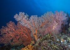 明亮地色的Gorgonian seafans墙壁  图库摄影