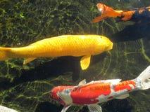 明亮地色的koi在晴朗的池塘 免版税库存图片