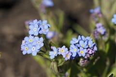 明亮地蓝色颜色美丽的花  图库摄影