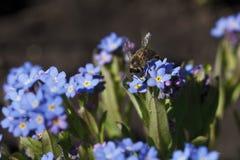 明亮地蓝色颜色美丽的花  库存图片