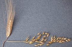 明亮地麦子和大麦的黄色耳朵在灰色花岗岩背景  库存图片
