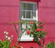 明亮开花在桃红色有白色窗口的被绘的房子开花在BoKaap,开普敦,南非 免版税图库摄影