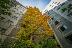 明亮的三色槭树在围场被放弃的高层建筑物发芽了 图库摄影