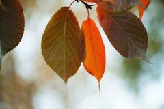 明亮的五颜六色的叶子宏指令视图 秋天公园场面 软绵绵地集中 浅深度的域 库存照片