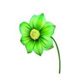 明亮的五颜六色的大丽花花的例证 免版税图库摄影