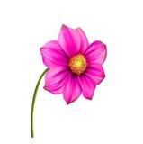 明亮的五颜六色的大丽花花,春天花 库存图片