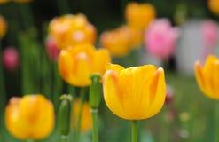 明亮的五颜六色的郁金香开花 图库摄影