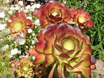 明亮的五颜六色的仙人掌花特写镜头  库存图片