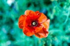 明亮的从大角度射击的猩红色红色共同的鸦片花罂粟属rhoeas反对绿草 免版税库存照片