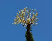 明亮的仙人掌开花蜡烛木黄色 库存图片