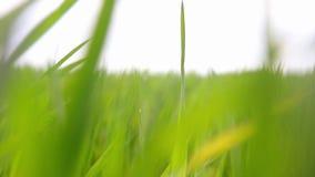 明亮的充满活力的绿草特写镜头 绿草和秀丽抽象自然本底弄脏了bokeh 选择聚焦关闭 影视素材