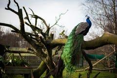 明亮的公孔雀坐长凳 免版税库存照片