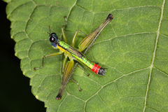 明亮的典雅的热带蝗虫 库存图片