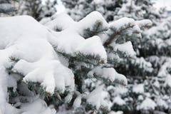 明亮的冬天风景 蓝色清楚的冷杉早晨天空多雪的结构树冬天 分支特写镜头 图库摄影