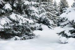 明亮的冬天风景 蓝色清楚的冷杉早晨天空多雪的结构树冬天 免版税库存图片