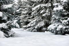 明亮的冬天风景 蓝色清楚的冷杉早晨天空多雪的结构树冬天 库存图片