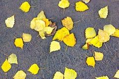 明亮的加拿大桦叶子在灰色沥青, osenniej背景说谎 金黄秋天 库存图片