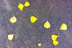 明亮的加拿大桦叶子在灰色沥青, osenniej背景说谎 金黄秋天 免版税库存照片