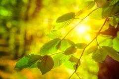 明亮的发光想法的太阳光线分支与叶子在秋天森林里 免版税库存图片