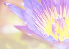 明亮的发光的特写镜头bloosom蓝色荷花 库存图片
