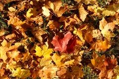 明亮的叶子黄色 免版税库存图片