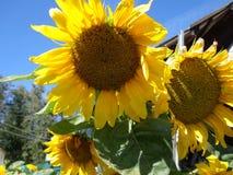 明亮的向日葵,蓝天 免版税库存图片