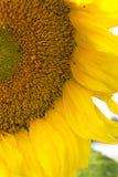 明亮的向日葵黄色 背景接近的向日葵 接近的向日葵 免版税库存照片