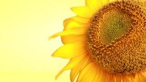 明亮的向日葵黄色 库存照片