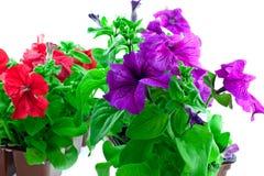 明亮的喇叭花塑料罐紫色红色 库存照片