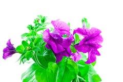 明亮的喇叭花紫色 免版税库存照片