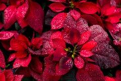 明亮的圣诞节背景花poinsety墙纸 库存图片