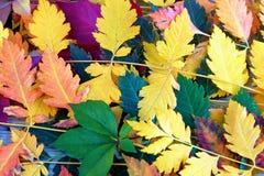 明亮的在木背景,纹理,在秋天题材的背景的秋天五颜六色的叶子 库存图片