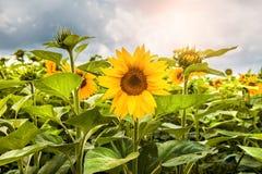 明亮的域向日葵黄色 免版税库存图片